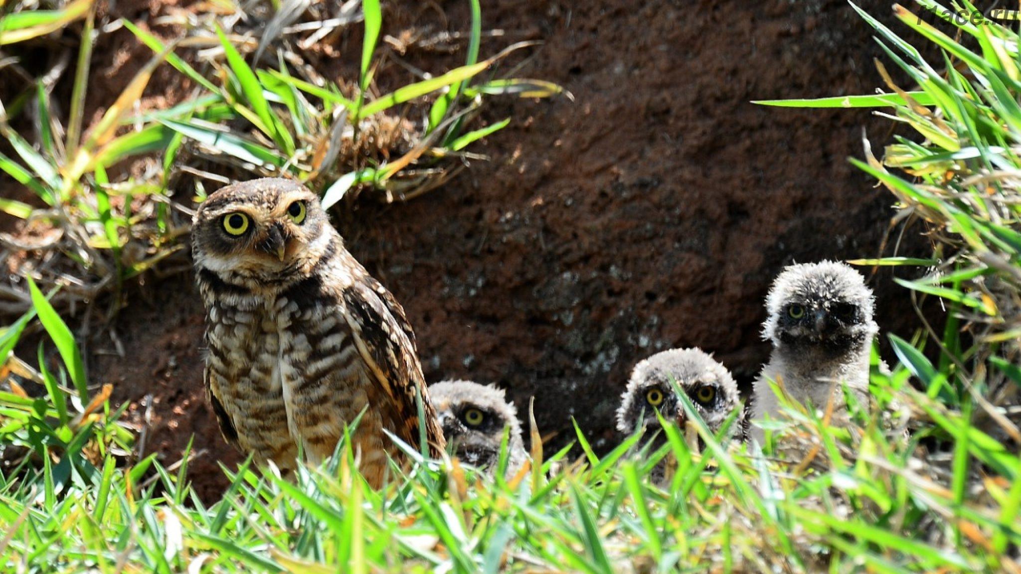 Роющие совы Интерлагоса